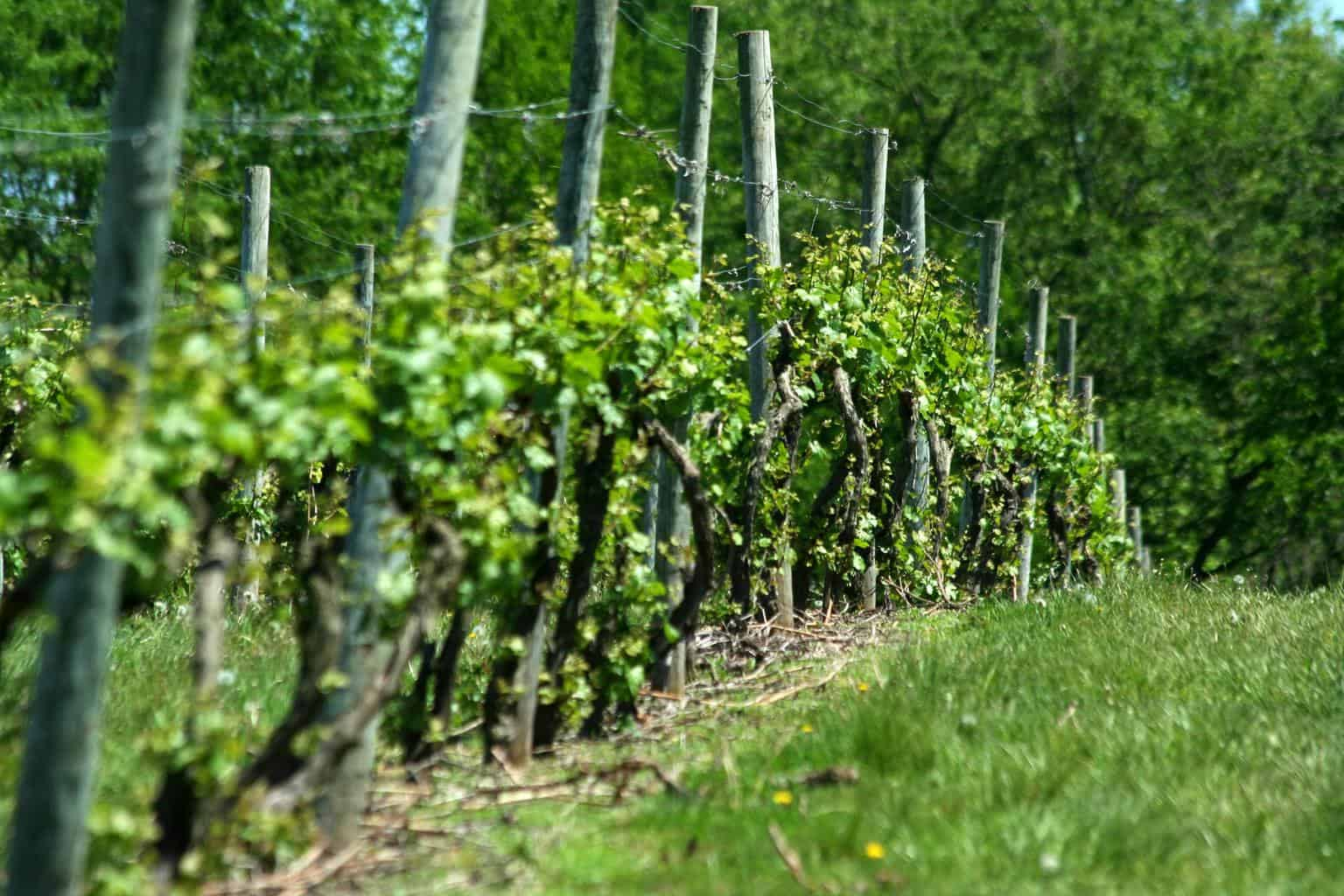 15 Sturdy Grape Vine Trellis Design Ideas For Your ...